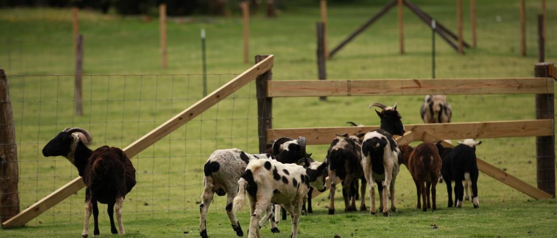 Jacob Sheep in Pasture