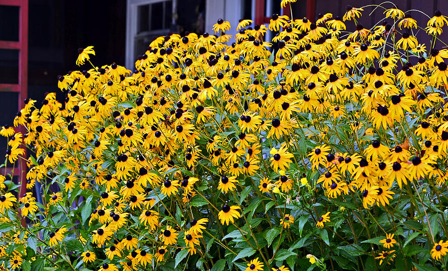 Perennials herbs and other heirloom plants jacobs Black eyed susans