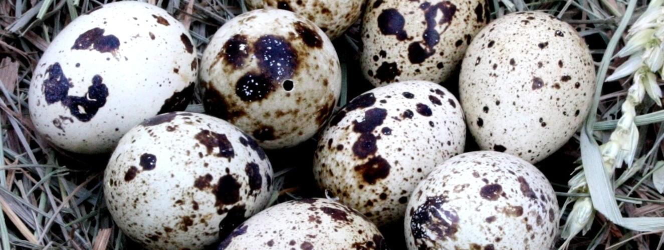 Quail Egg Nest