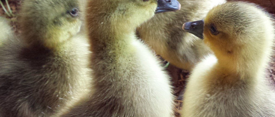 Toulouse Goslings