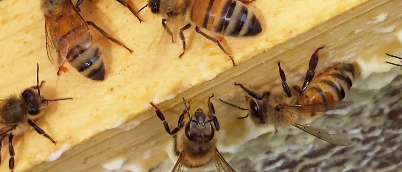 Italian Honey Bees